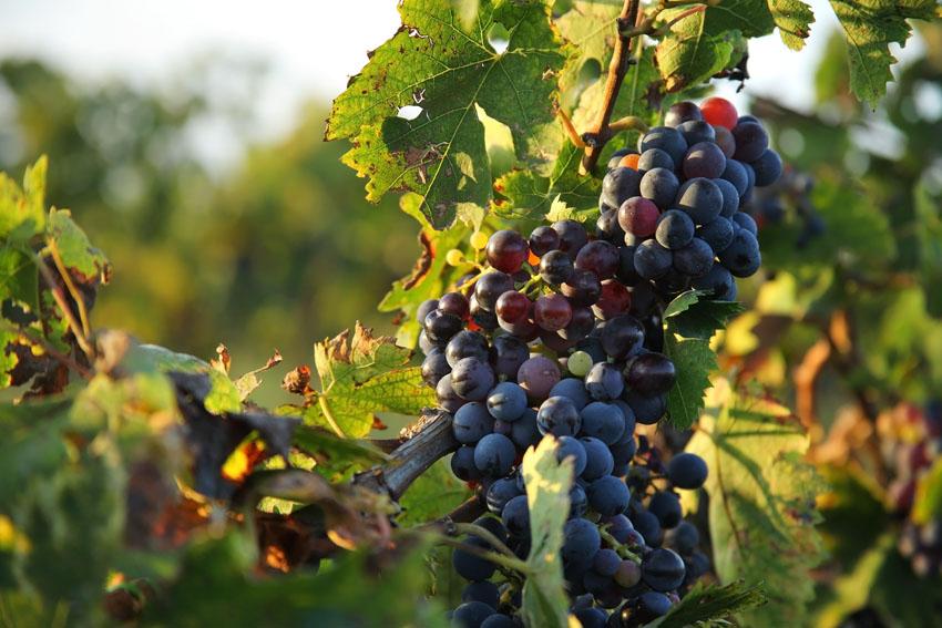Vino olio e nocciole antico borgo la commenda for Planimetrie storiche della fattoria